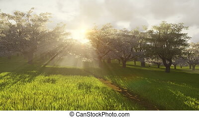 Spring cherry orchard. Time lapse