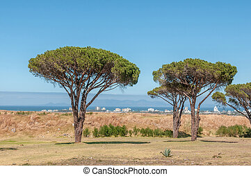 Pine trees with Table Mountain in Cape Town in the...