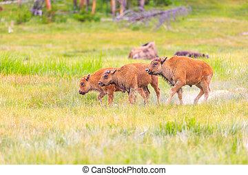 norteamericano, bisonte, Pare,