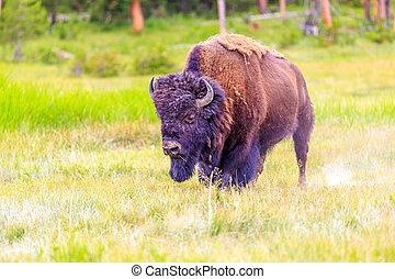 norteamericano, bisonte