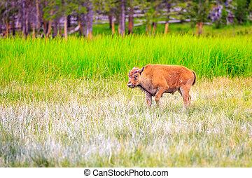 American Bison Calve - Bison calf walking in Yellowstone...