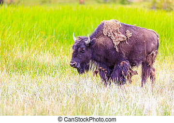 norteamericano, bisonte,