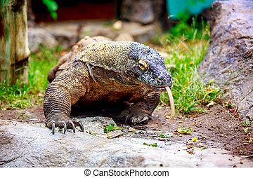 Komodo dragon wander with tongue hanging.