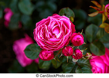 Fragrant Rose in Full Blossom. Washington Park Rose Garden,...
