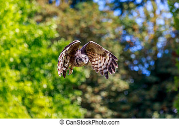 Flying Owl - Owl flying in mid-air, with wings spread.