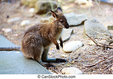 wallaby,