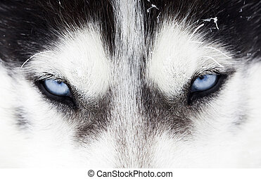 Close-up shot of husky dog blue eyes - Close up on blue eyes...