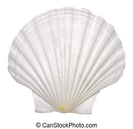 white shell isolated - mussel shell isolated over white...