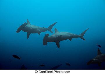 Two hammerhead sharks in the blue waters - Two hammerhead...