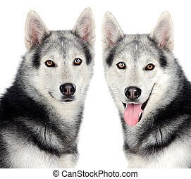 Couple of dogs a over white background