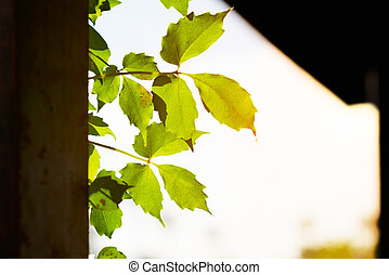 Green leaves in sunlight stretching from wall