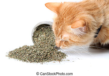 Orange cat sniffing dried catnip - Orange cat smelling dried...