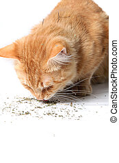 Orange cat eating catnip - Orange cat eating dried catnip...