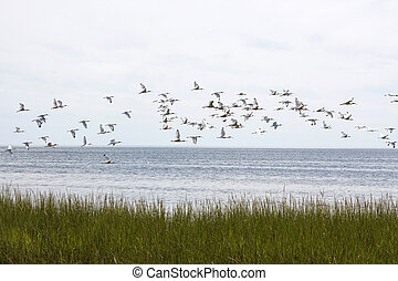 Flock Of Ibis - A flock of White Ibis soar across Apalachee...