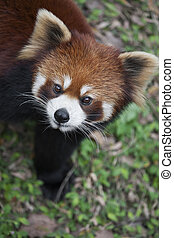 Red panda Ailurus fulgens, also known as Lesser Panda