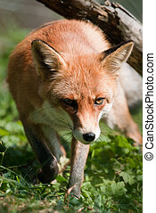 red fox (lat. vulpes vulpes) focus is on the eyes