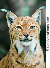 Lynx - Portrait of a Lynx Focus is on the eyes