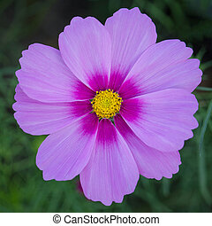 close up cosmos flowers