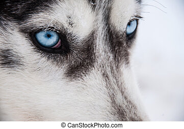 Siberian Husky close-up