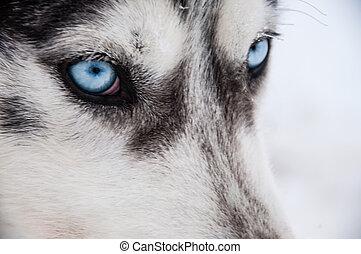 Siberian Husky close-up