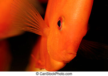 Discus fish - Very nice portrait of orange discu fish