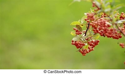 Red berries against the grass, dynamic change of focus -...