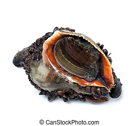 Veined rapa whelk overgrown with mussels Isolated on white...
