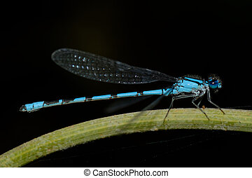 Blue dragonfly - Nce blue dragonfly on a green flower stem