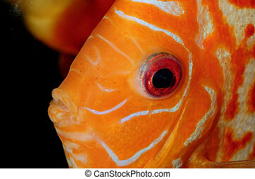 Discus fish portrait - Very nice portrait of orange discu...
