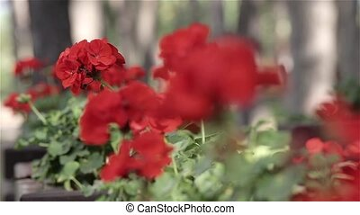 Red flowers in the spring close up, dynamic change of focus...