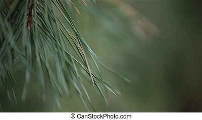 Green pine tree, dynamic change of focus, close up - Green...