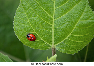 Lady Bug - Closeup of a lady bug on fresh green leaf