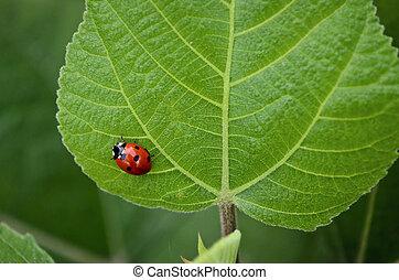 Lady Bug - Closeup of a lady bug on fresh green leaf