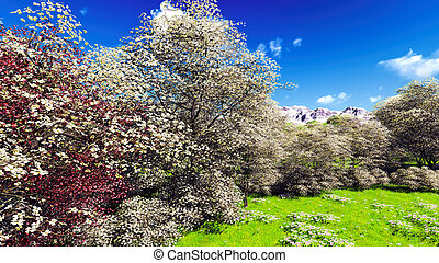 Apple trees blossom in spring - Apple trees blossom in the...
