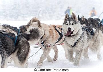 Dog sled racing with huskies