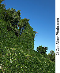 Kudzu everywhere - Kudzu leaves covering tress and...