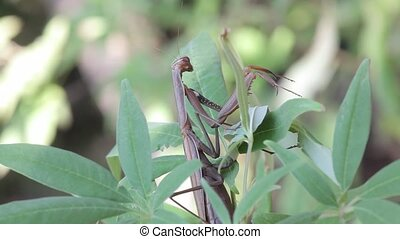 insect outdoor (Mantis Religiosa)