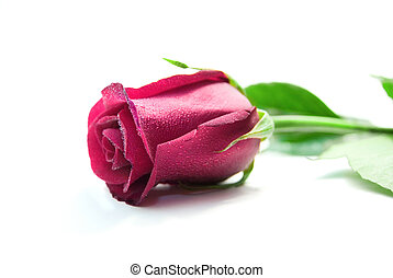 Purple rose isolated on the white background