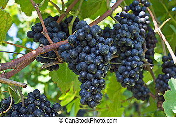 Blue grapes - Blue ripe grapes in the vineyard