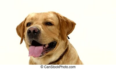 Adult labrador retriever sitting straight and looking at the...