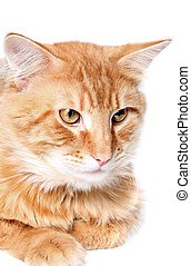 Orange cat - Gorgeous orange cat on a white background