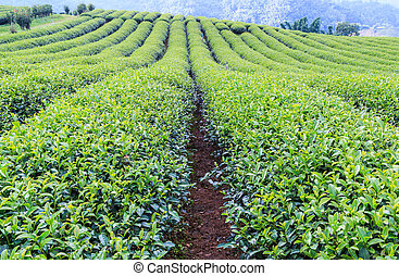 Green tea plantation landscape