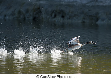 Duck taking off