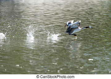 Duck taking off in lake