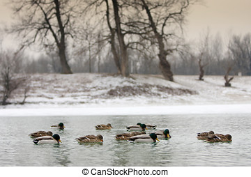 Flock of ducks in lake - A flock of ducks swimming in the...