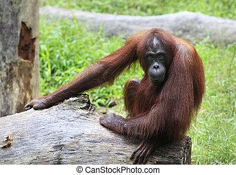Orangutan - Photographed at a zoo, Kota Kinabalu, Borneo
