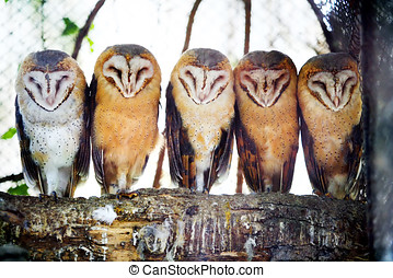 Barn owls on tree branch - A front view of five barn owls...