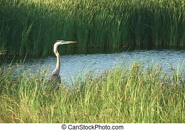 Great Blue Heron Flying - A great blue heron flies over a...