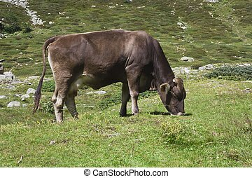 Brown cow ruminate in the grass - MADESIMO, ITALY - AUGUST...