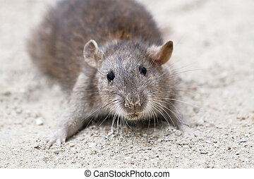 Rat - Wild rat on the sand
